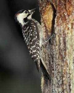 Red-cockaded_Woodpecker