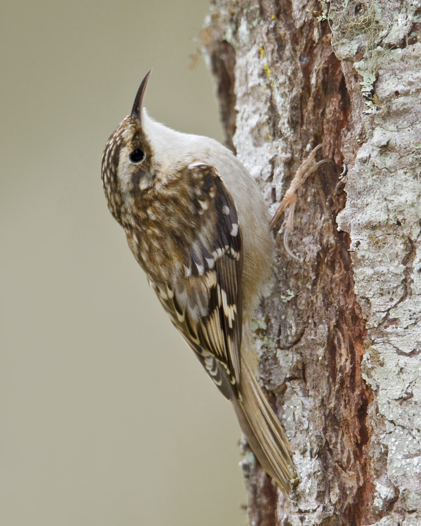 Brown Creeper (Certhia americana)