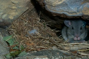 Woodrat by nest