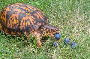 Eastern Box Turtle Eating