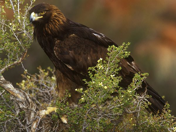 golden-eagle_551_600x450