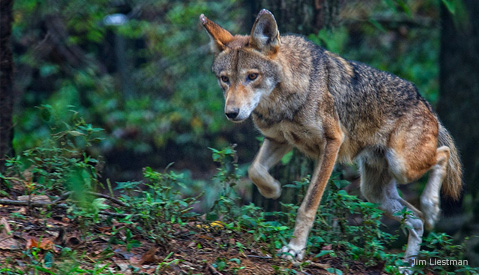 Red-Wolf_Jim-Liestman_479x275