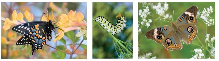 AL Butterflies Web