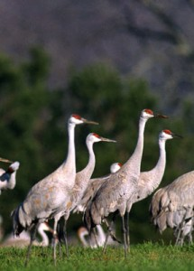 Wheeler Wildlife Refuge Cranes