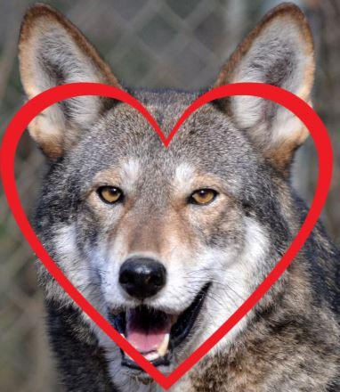 wolffaceheart