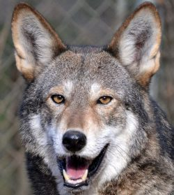 redwolfTaylor