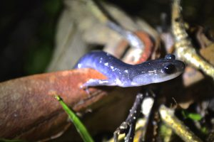 The Northern Gray-cheeked Salamander (Plethodon montanus) is one species that would be vulnerable to bsal