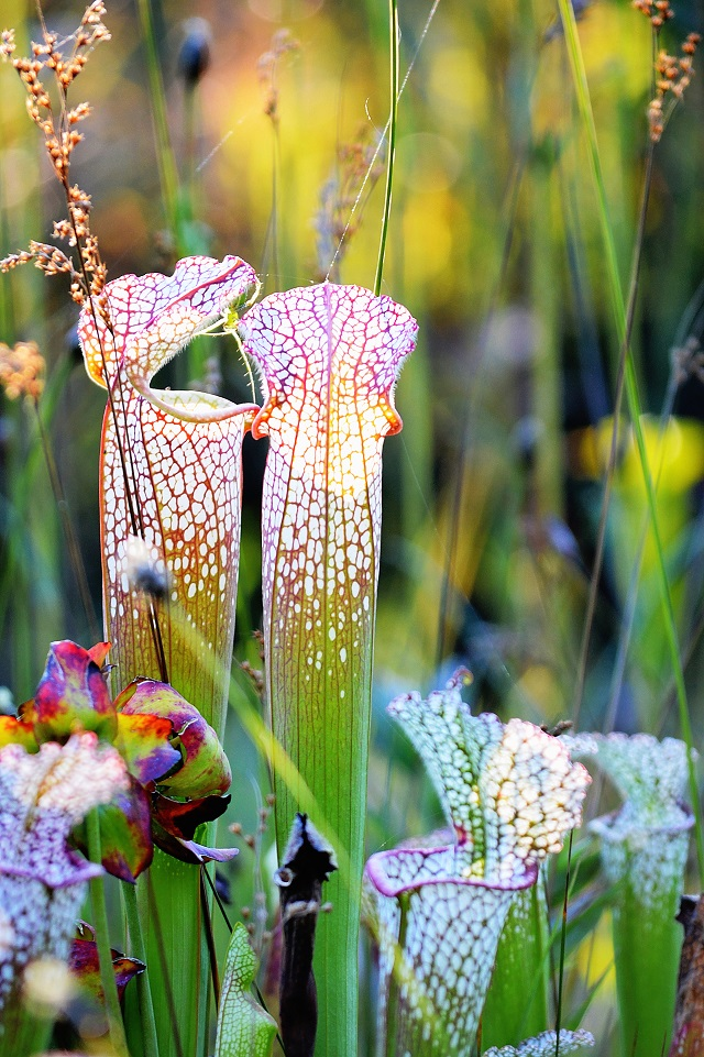 Pitcher Plant at Splinter Hill Bog, Alabama (Photo: Jenna Crovo)