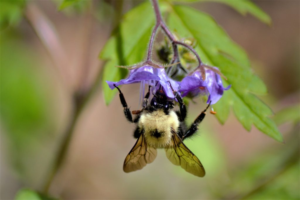 The Search for the Rusty Patched Bumble Bee » Wild South