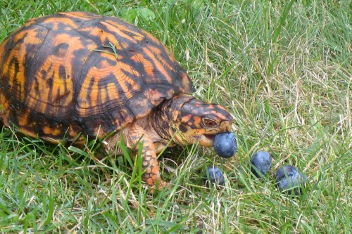 what is a box turtles diet