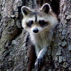 North American Raccoon Wild South